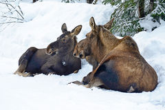 moose Royalty-vrije Stock Fotografie