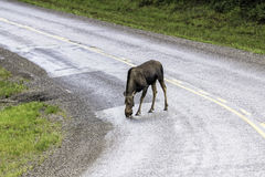 Moose across the road in Alaska Royalty Free Stock Photo