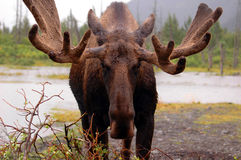 Moose in Alaska stock photos