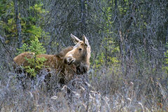 Moose in Alaska. Photo of a moose alongside a road near Fairbanks, Alaska royalty free stock photos