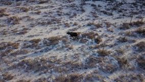 Moose on Alaskan tundra stock footage
