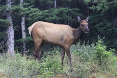 Moose - Alberta - Canada. Moose in the forest - Alberta - Canada Royalty Free Stock Photography