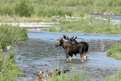 Moose, Alces alces Stock Photography