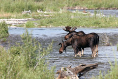 Moose, Alces alces Stock Photo
