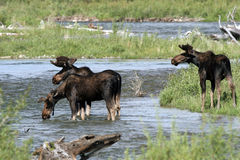 Moose, Alces alces Royalty Free Stock Photography