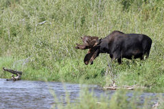 Moose, Alces alces Royalty Free Stock Image