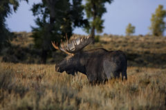 Moose (Alces alces) Stock Photo
