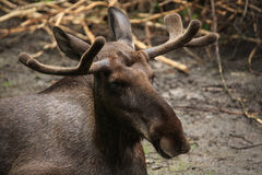 Moose (Alces alces), also known as the elk. Royalty Free Stock Image