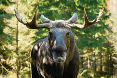 Moose (Alces alces). Moose bull (Alces alces) look straight at you with mean eyes. He is truely the king in this forest and will not take lightly on trespassers Royalty Free Stock Photos
