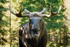 Moose (Alces alces) Royalty Free Stock Photos