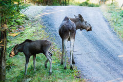 Moose (Alces alces) Royalty Free Stock Images