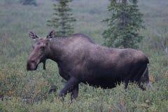 Moose Alces alces. A Moose Alces alces in Denali National Park, Alaska, USA Stock Photo