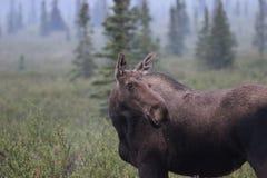 Moose Alces alces. A Moose Alces alces in Denali National Park, Alaska, USA Stock Images