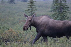 Moose Alces alces. A Moose Alces alces in Denali National Park, Alaska, USA Royalty Free Stock Photos