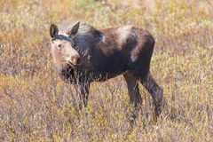 Moose Alces alces Stock Photography