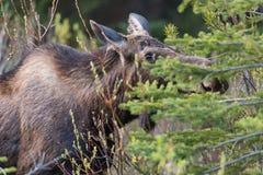 Moose Alces alces Stock Photos