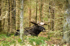 Moose (Alces alces) Stock Images