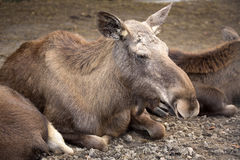 Moose, Alces a.alces is large ungulates. One Moose, Alces a.alces is large ungulates Royalty Free Stock Photo