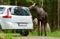 Moose Royalty Free Stock Photo