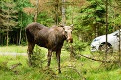 Moose Stock Image