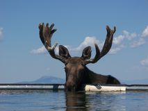 Moose (Alces alces) Royalty Free Stock Photo