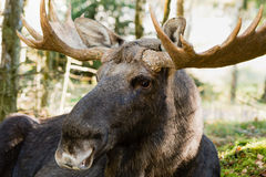 Moose (Alces alces) Stock Photography