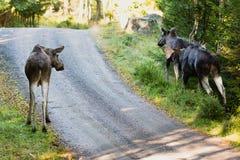 Moose (Alces alces) Stock Image