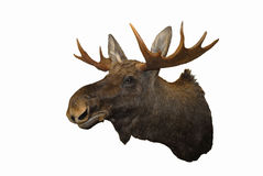 Wall-mounted Moose throphy isolated on white Stock Image