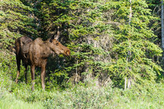 Moose (Alces alces) Royalty Free Stock Image