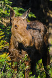 Moose (Alces alces) Stock Photos