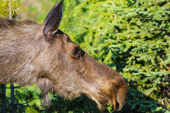 Moose (Alces alces) Stock Image
