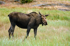 Moose (Alces alces). In Yukon, Canada Stock Images