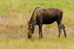 Moose (Alces alces) in Yukon royalty free stock photography