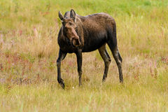 Moose (Alces alces) in Yukon royalty free stock images