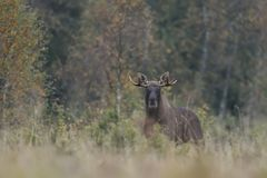 Moose alces alces in forest. At autumn Royalty Free Stock Photography
