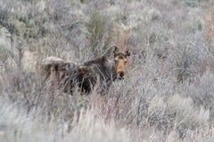 Moose Alces alces. A Moose Alces alces in Idaho Stock Photos