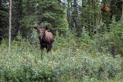 Moose, Alces Stock Photography