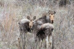 Moose Alces alces. A mother and baby Moose Alces alces in Idaho Royalty Free Stock Photo