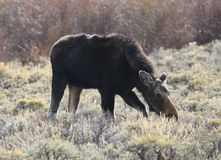 Moose Amid Sagebrush in Early Spring. A moose feeding in a sea of sagebrush on the edge of the Snowy Range, WY Stock Photos