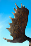 Moose Antler Royalty Free Stock Photo