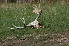 Moose antlers. A moose skull & antlers in the forest Royalty Free Stock Photography