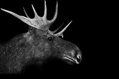 moose antlers 3d isolated black white background animal stock photo