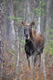 Moose in autumn forest Stock Image