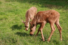 Moose baby Royalty Free Stock Photo