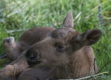 Moose - baby animal Royalty Free Stock Images