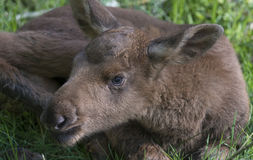 Moose - baby animal Stock Images