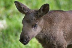 Moose - baby animal Royalty Free Stock Photos
