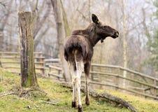 Moose Royalty Free Stock Photos