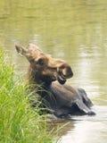 Moose Bathing Royalty Free Stock Images