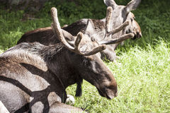 Moose, Bialowieza National Park Royalty Free Stock Image